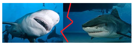 Bull shark vs Tiger shark Comparison