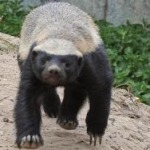 Compare Honey Badger vs Komodo Dragon