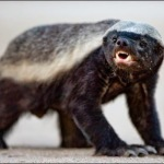 Compare Honey Badger vs Lion