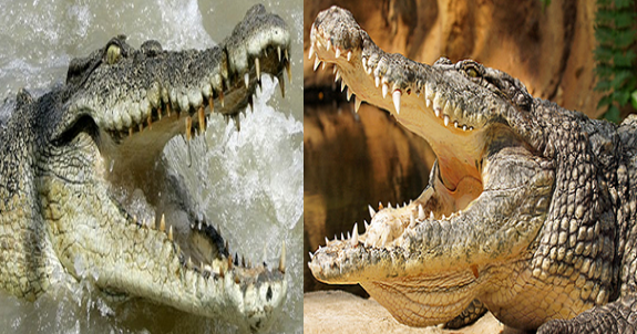 Nile crocodile vs Salt water crocodile Comparison