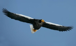 Steller's Sea Eagle Wing Span