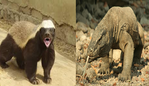 Honey badger vs Komodo dragon Comparison