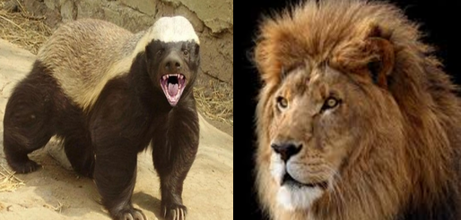Honey badger vs Lion Comparison