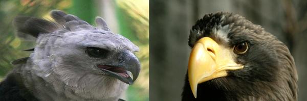 Harpy Eagle Vs Steller's Sea Eagle Comparison