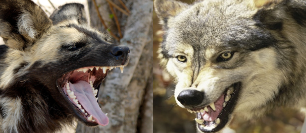 Wild Dog Vs Gray Wolf Comparison
