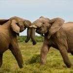 Compare Asian Elephant vs African Elephant