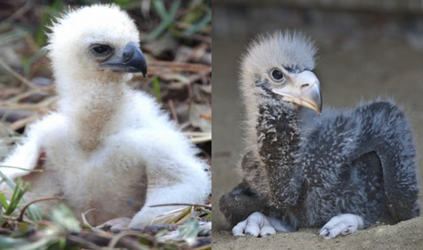 Harpy Eagle and Steller's Sea Eagle Chicks