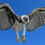 Compare Harpy Eagle vs Steller's Sea Eagle