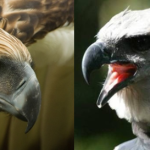 Compare Philippine Eagle vs Harpy Eagle