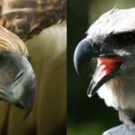 Compare Philippine Eagle vs Harpy Eagle