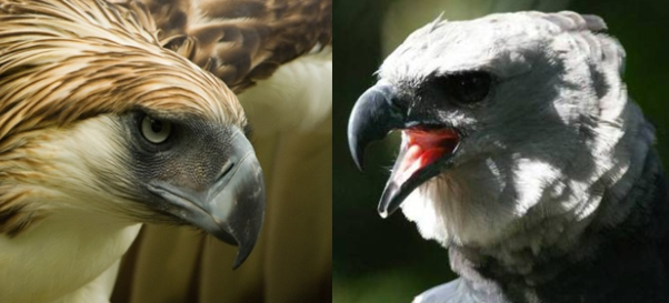 Philippine Eagle Vs Harpy Eagle Comparison