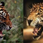 Compare Bengal Tiger vs Jaguar