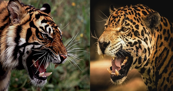 Bengal Tiger vs Jaguar Comparison