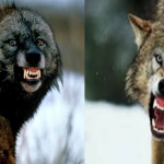 Compare Wolverine vs Gray Wolf