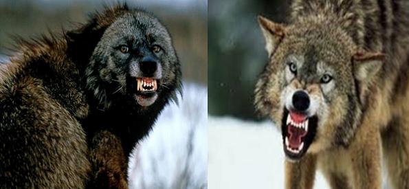 Wolverine vs Gray Wolf Comparison