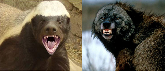 Wolverine vs Honey badger Comparison
