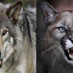 Compare Cougar vs Gray Wolf | Puma vs Gray Wolf