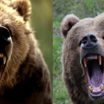 Compare Grizzly Bear vs Kodiak Bear
