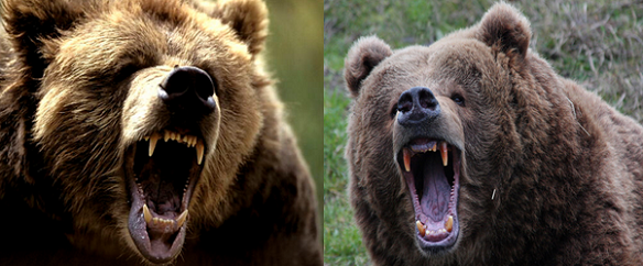Grizzly bear vs Kodiak bear Comparison