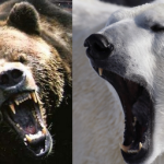 Compare Polar Bear vs Grizzly Bear
