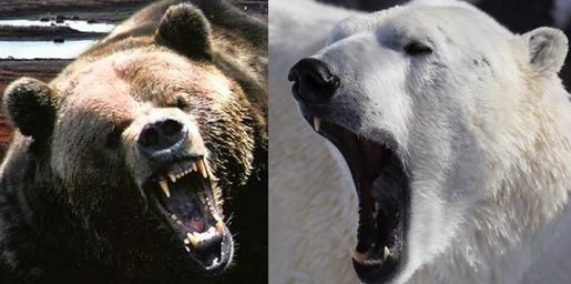 Polar bear vs Grizzly bear Comparison