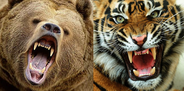 Grizzly Bear Vs Siberian Tiger Comparison