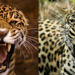 Compare Leopard vs Jaguar