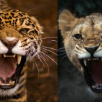 Compare Jaguar vs Lioness