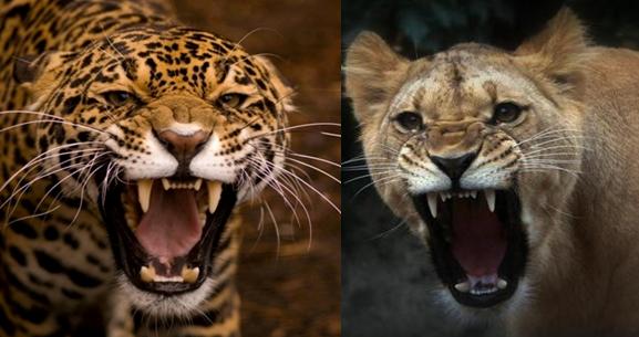 Cougar vs Gray Wolf / Puma vs Gray Wolf Comparison
