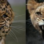 Compare Leopard vs Lioness