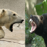 Compare Wolverine vs Polar Bear