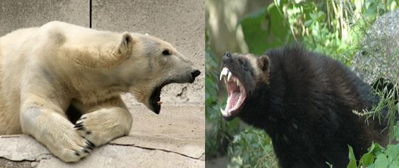 Wolverine vs Polar Bear Comparison