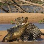 Compare Jaguar vs Alligator Fight