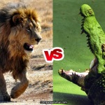 Compare African Lion vs Nile Crocodile