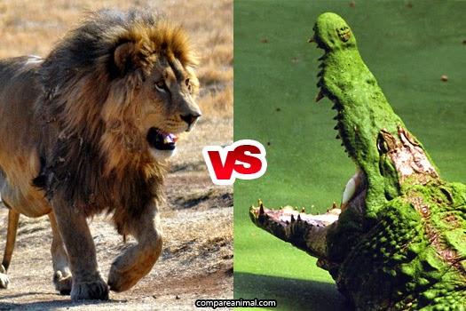 African Lion vs Nile Crocodile Comparison