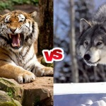 Compare Siberian Tiger vs Gray Wolf