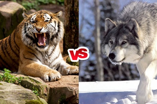 Siberian Tiger vs Gray Wolf Comparison