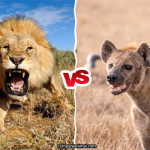 Compare African Lion vs Hyenas