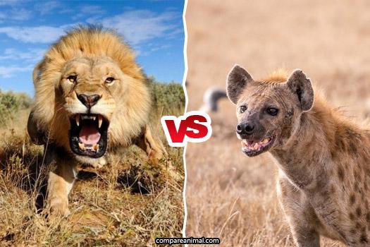 African Lion Vs Hyenas Fight Comparison
