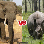 Compare African Bush Elephant vs White Rhinoceros