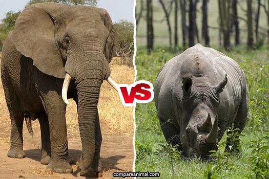 African Bush Elephant vs White Rhinoceros Comparison