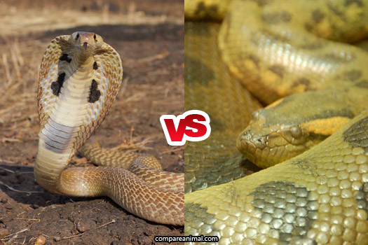 King cobra vs Green anaconda Comparison