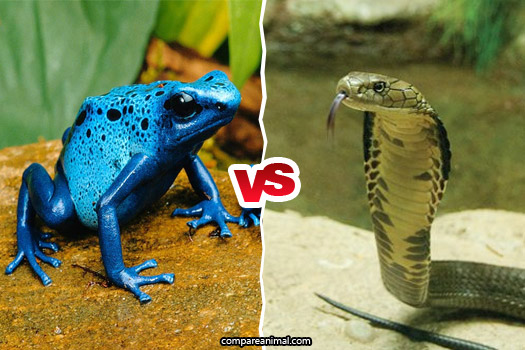 Fight between Poison Dart Frog vs King Cobra