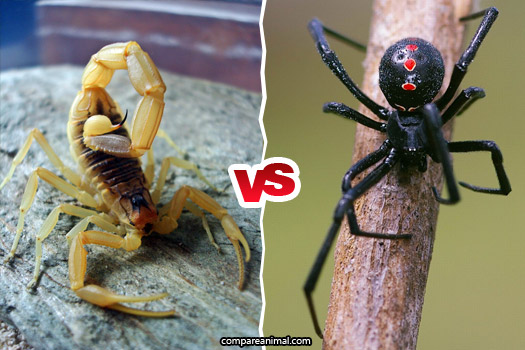 Fight between Deathstalker scorpion vs Black Widow Spider