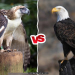 Philippine Eagle vs Bald Eagle Comparison