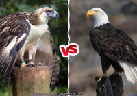 Philippine Eagle vs Bald Eagle fight comparison