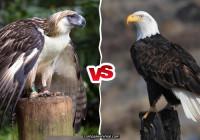 Philippine Eagle vs Bald Eagle fight comparison