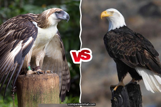 Fight between Philippine Eagle vs Bald Eagle