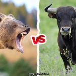 Compare Bull vs. Bear in Face to Face Fight