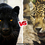 Compare Jaguar vs. Black Panther